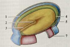 Schematickýpohľad na vonkajší zárodkovýlist embrya